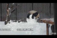 Advertencia: estas imágenes son terriblemente tiernas: la despiadada batalla entre un panda y un muñeco de nieve. ¿Quién ganará?