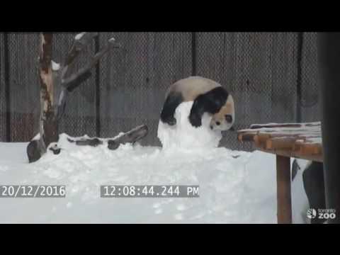Un-panda-se-enfrenta-a-un-muñeco-de-nieve