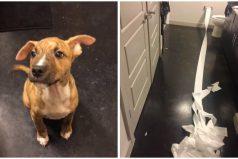Este cachorrito quiso limpiar su propio pipí con papel higiénico. La gente ya lo está adorando