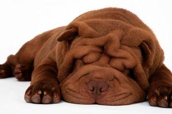¿Qué sueñan los perritos? La respuesta te dejará con la boca abierta