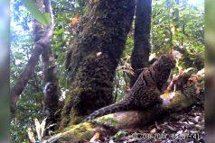 ¡Qué minino tan hermoso! Captan imágenes del extraño gato jaspeado. ¡Su cola mide medio metro!