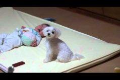 Mira la reacción de este perrito al escuchar llorar a un bebé, ¡es sencillamente encantador!