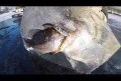 ¡Realmente extraordinario! Pescadores encuentran un pez que quedó congelado mientras engullía a su presa