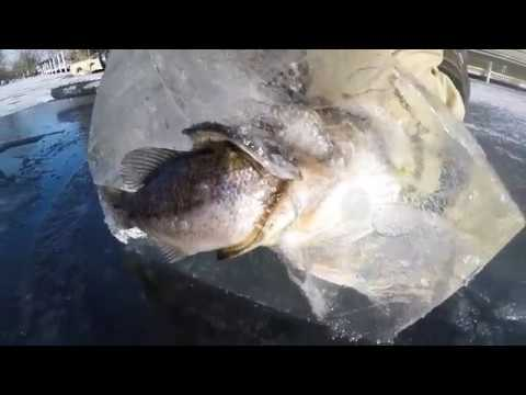 Cutting-Out-a-Pike-Eating-a-Bass-Frozen-in-Ice