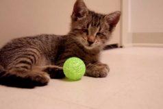 El gatito ciego que recibió una oportunidad de vida, ¡conoce la bella historia de Oscar!