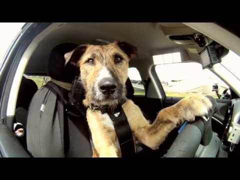 Meet-Porter.-The-Worlds-First-Driving-Dog.