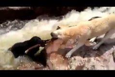 ¡Qué bello! Este perro salvó a su compañero de morir ahogado. ¡Esto es ser un verdadero amigo!