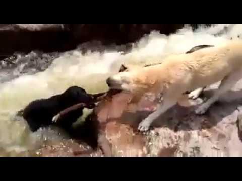 Perro-salva-a-otro-de-morir
