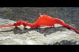 ¡Qué hermoso! Conoce al dragón de mar, una especie de pez aguja recientemente descubierto