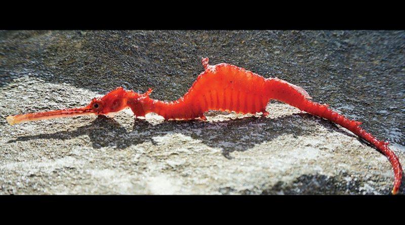 Phyllopteryx-dewysea-Ruby-Seadragon-first-seen-alive