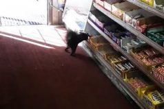 ¡In fraganti! Captan en video a una ardilla que ya se ha robado más de 50 chocolatinas de un supermercado en Toronto. ¡Qué habilidad!