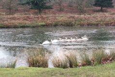 La determinación de estos cisnes atravesando el hielo te inspirará. ¡Vamos, que no hay nada que nos detenga!