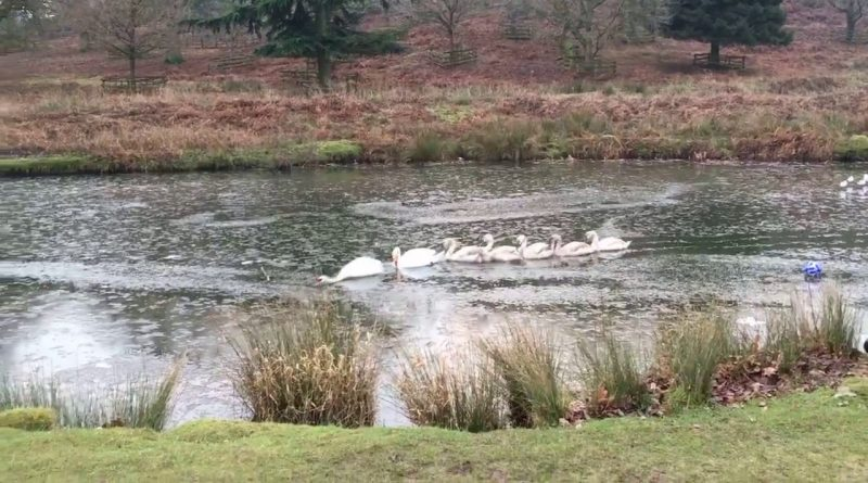 Swans-Blaze-Trail-Through-Icy-Pond