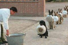 ¡Bellísimos! Estos son los perros más disciplinados del mundo