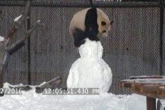 Oso panda vs hombre de nieve. ¡No pararás de reír con esta ternura!