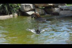 El pato más osado y astuto del mundo se enfrenta a un tigre hambriento. ¡Increíble final!