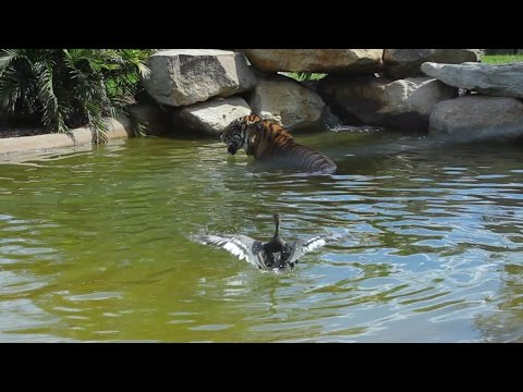 Worlds-bravest-duck-plays-with-Sumatran-tiger-for-fun