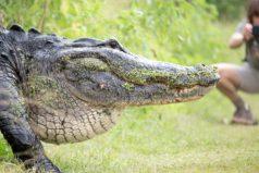 ¿Quién dijo que los dinosaurios se extinguieron? Mira el vídeo del cocodrilo gigante que asombra a EE. UU