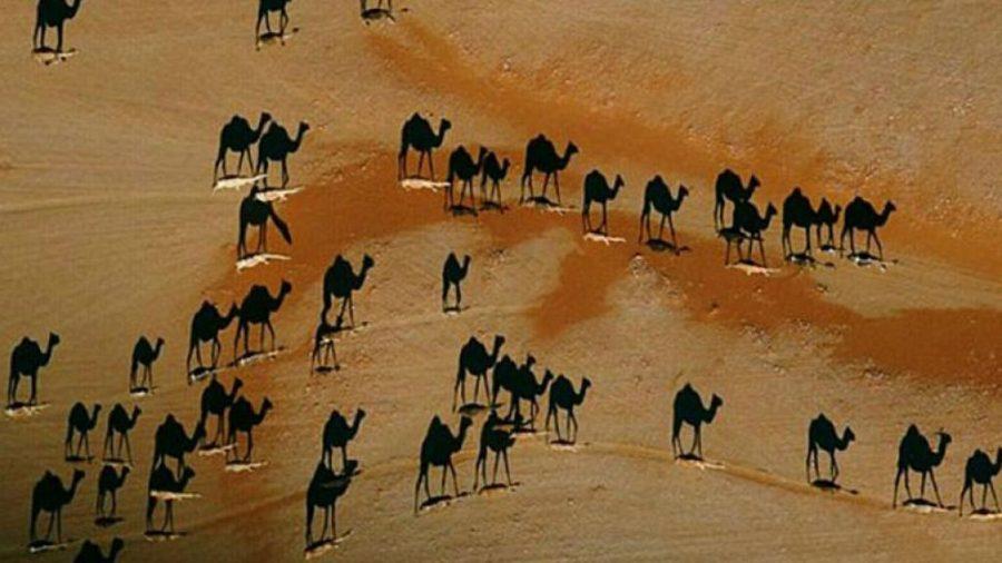 Nueva ilusión óptica de camellos ¡está enloqueciendo las redes sociales!