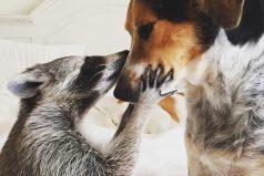 El mapache que volvió a la vida gracias a la adopción, ¡que lindos!