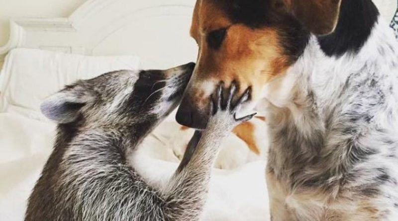 El-mapache-que-volvió-a-la-vida-gracias-a-la-adopción-¡que-lindos