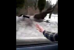 ¡Volando a casa! Este ganso sorprende con su vuelo a alta velocidad… ¡Al lado de un automóvil!