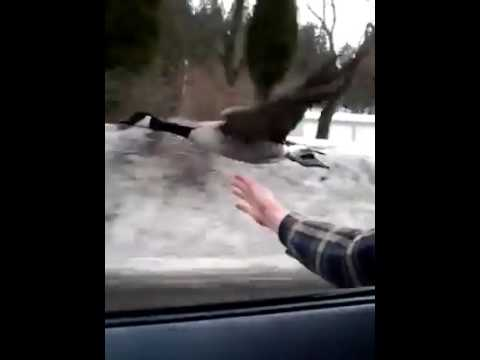 Goose-is-flying-down-the-highway