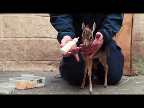 Keepers-step-in-to-hand-rear-orphaned-baby-antelope-at-Chester-Zoo