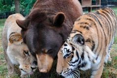 La bondad de los animales: oso, tigre y león se convierten en grandes amigos, ¡que viva la naturaleza!