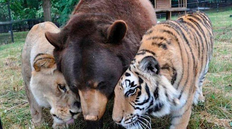 La-bondad-de-los-animales-oso-tigre-y-león-son-los-mejores-amigos
