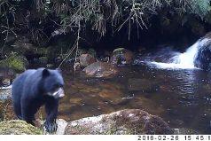 'Mamá, no me quiero bañar, ¡qué oso!' La hermosa osa andina que obliga a su osezno a cruzar una quebrada. ¡Te fascinará!