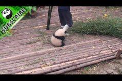 ¡Qué ternurita! El pequeño panda que no deja trabajar a su cuidador. ¡Imposible no quererlo!