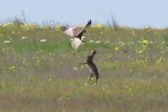 ¡Sé liebre… libre, libre! Te sorprenderá la valentía de este conejo al enfrentarse a un halcón