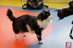 El gato que con la ayuda de dos prótesis volvió a caminar