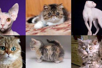 ¿Amas a los gatos? conoce a las 10 razas más extrañas
