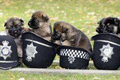 Los 10 perros policía más lindos y efectivos del mundo, ¡son muuuy astutos!