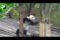 ¿Eres King Kong? Te enamorará la 'actuación' de este panda. ¡Imposible no quererlos!