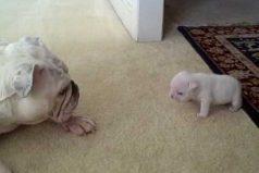'Ahorita no mamá, que me están grabando': el berrinche de 'Elvis', un bulldog cachorro que no quiere caminar. ¡Enternecedor!