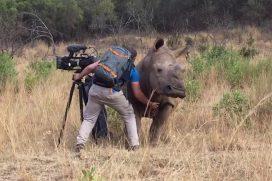 ¿Para qué crees que se aceró esta rinoceronte al camarógrafo Garth de Bruno Austin? ¡Impresionantemente hermoso!