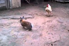 ¡Gallo vs. Conejo! La inédita pelea de la naturaleza que se volvió viral. ¿Quién crees que gana?