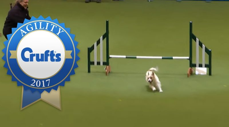 Hilarious-Jack-Russell-Goes-Crazy-with-Excitement-at-Crufts-2017