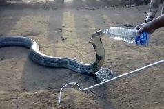 Típico: tu mascota, una cobra de 3 metros, tiene sed y le das agua de una botella… ¡Extreeemo!
