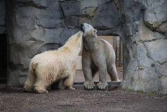 No te pierdas la primera cita de Nan y Hudson, dos osos polares del Zoo Brookfield de Chicago. ¡Chicos, preserven la especie!