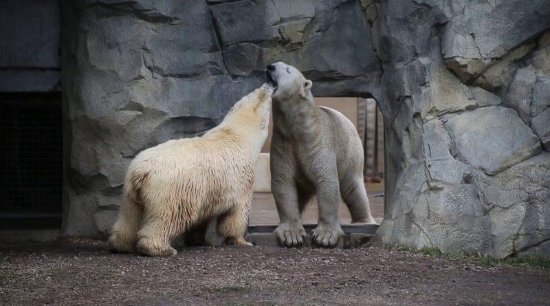 Polar-Bears-Nan-and-Hudson-at-Brookfield-Zoo