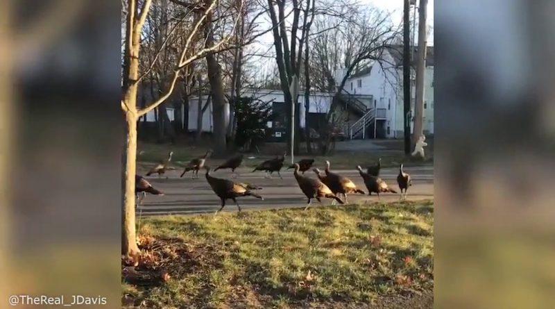 Turkeys-perform-death-dance-around-a-dead-cat