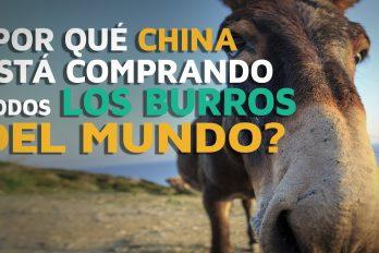 ¡Asombroso! China está comprando todos los burros del mundo… ¡Y no es para lo que te imaginas!
