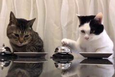 ¡Qué bellos… y qué listos! Te encantará la manera en que estos gatos piden comida… sin un solo maullido