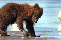¡Qué tierno! Este pequeño oso intentó comerse una almeja, pero se llevó tremenda lección