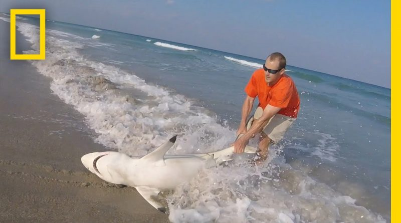 Watch-Man-Straddles-Shark-On-Beach-to-Save-It-National-Geographic