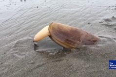¡El impresionante reino animal! Una almeja enterrándose en la arena se hace viral… ¡El final te tomará por sorpresa!